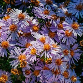 日光の下でマゼンタアスターの花壇