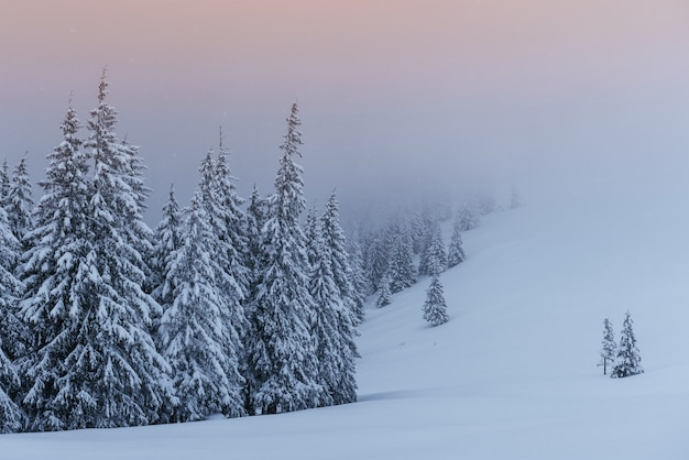 Спокойная зимняя сцена. елки, покрытые снегом, стоят в тумане. красивый пейзаж на опушке леса.
