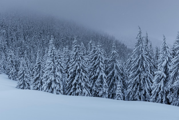 穏やかな冬景色。雪に覆われたもみが霧の中に立つ。