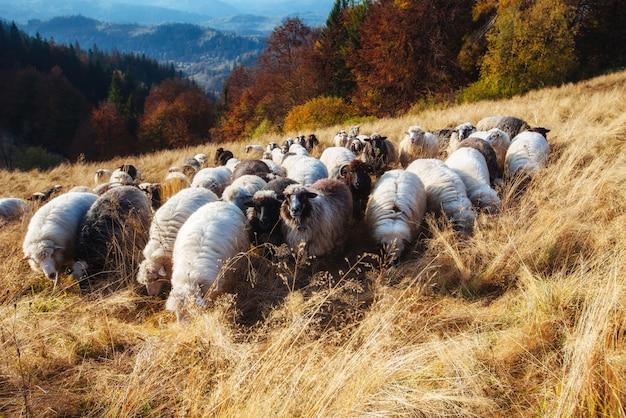 Стадо пасущихся овец