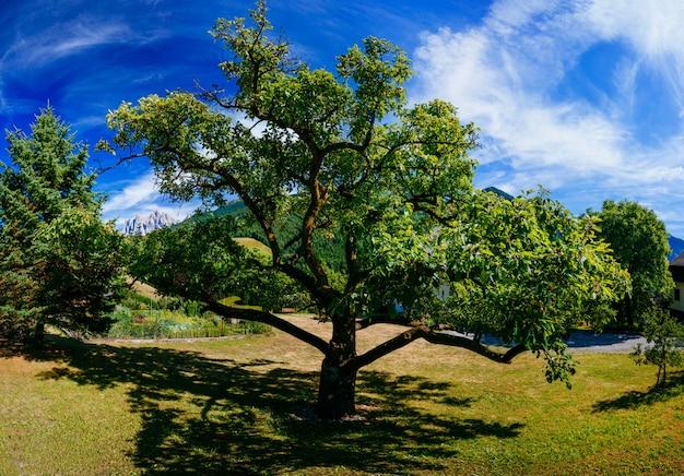 夏の日の古い木