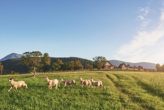 夏の日の緑の牧草地の丘の上の村の家。牧草地を歩いて羊の群れ
