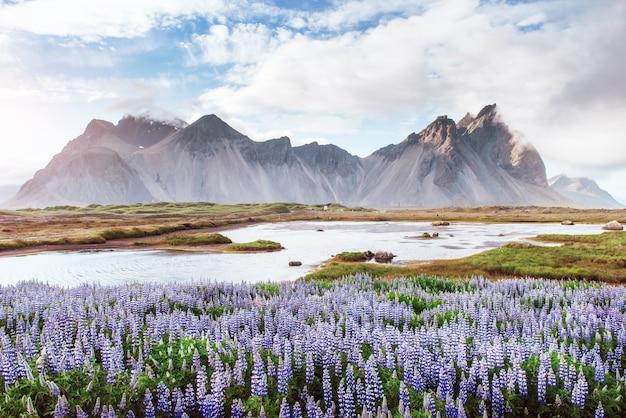 Живописные пейзажи лесов и гор исландии. дикий синий люпин, цветущий летом
