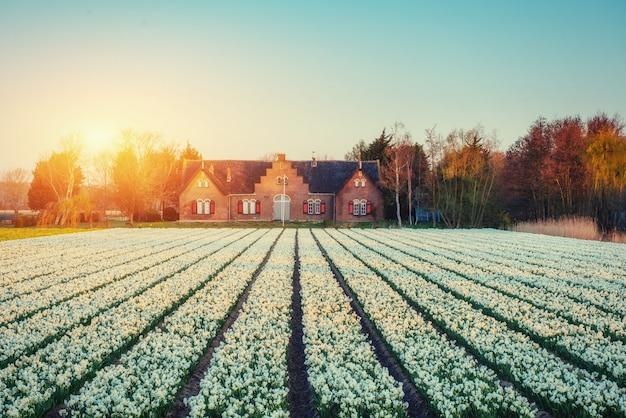 幻想的な夕日に咲く花ヒヤシンス。