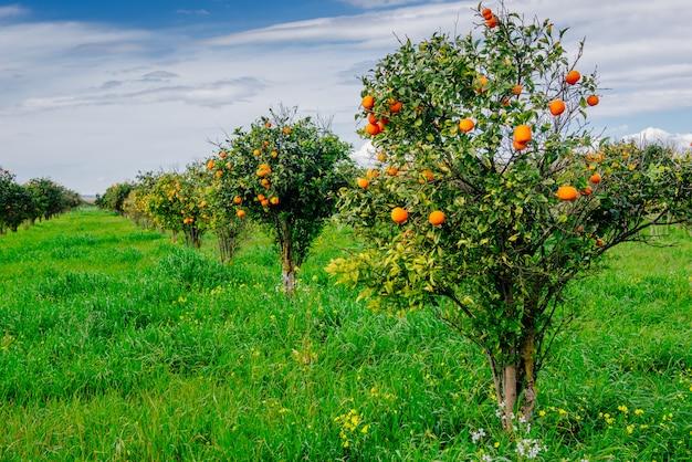 オレンジの木のプランテーション