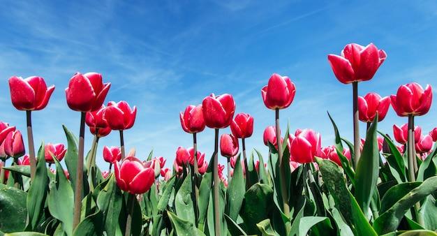 Красивое поле тюльпанов в нидерландах