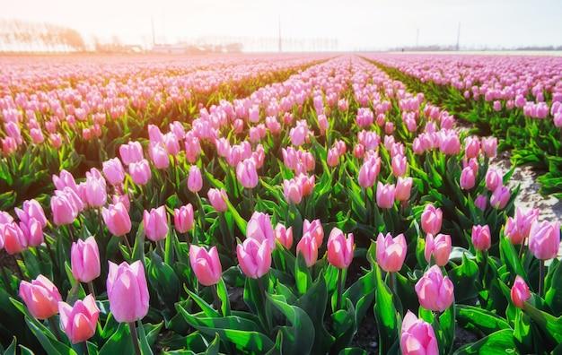 オランダの美しいチューリップ畑