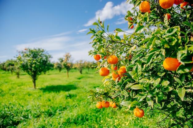 Апельсиновое дерево парк