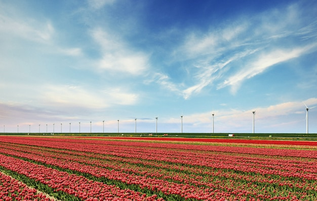 Красивое красное поле тюльпанов