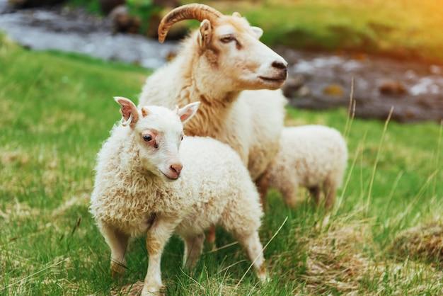 アイスランドの羊。国立公園内の素晴らしい景色の滝