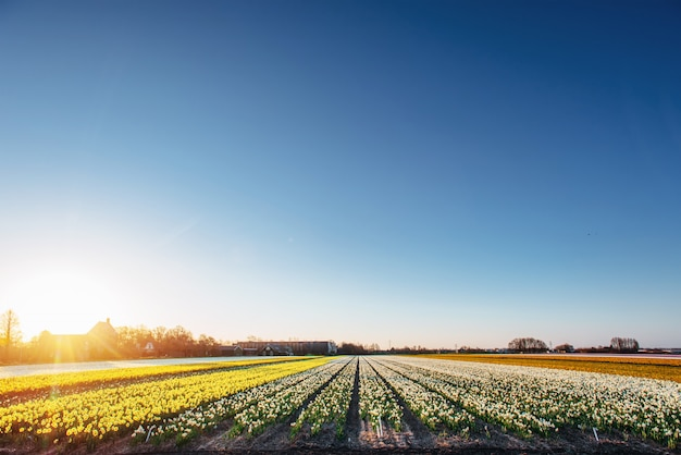 オランダのチューリップ畑。オランダ