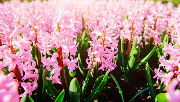 春の花壇の素晴らしい花。ピンクのヒヤシンス