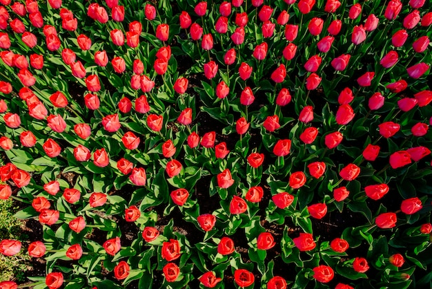 Красивые красные тюльпаны в нидерландах на солнечные весенние дни.