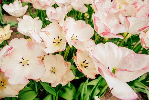 Соберите розовые тюльпаны против неба. весенний пейзаж.
