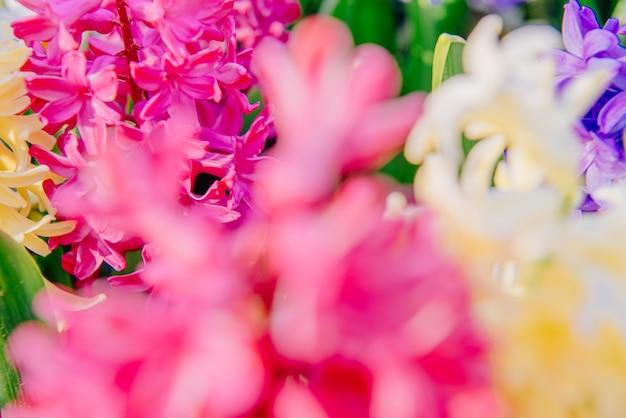 美しい色とりどりのヒヤシンス。オランダ。キューケンホフフラワーパーク。