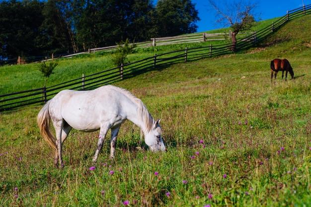 夏の馬の牧草地