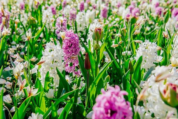 Бело - розовые гиацинты в саду.