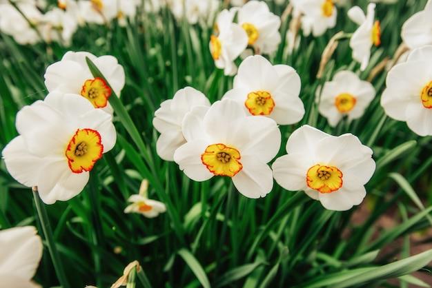 オランダの庭の白い水仙
