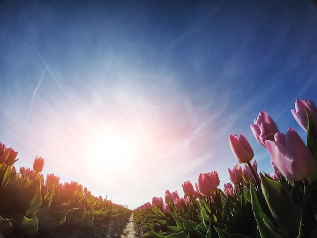 赤いチューリップフィールドを介して日光。美容の世界。オランダ