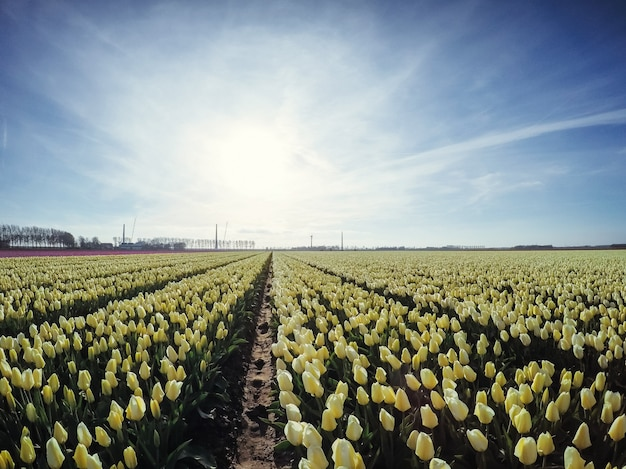 Плантация тюльпанов на ферме в голландии.