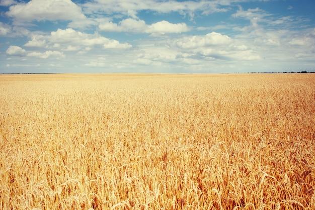 空の下の草原小麦。美容の世界。ウクライナ。ヨーロッパ