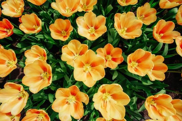 色とりどりのチューリップの背景を持つ花畑