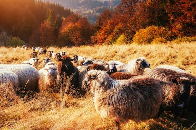 Стадо овец на красивый горный луг.