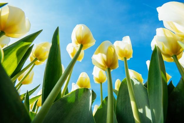 Желтое поле тюльпанов в голландии