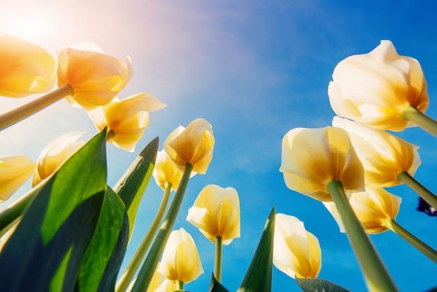 夏の黄色のチューリップ行の表示