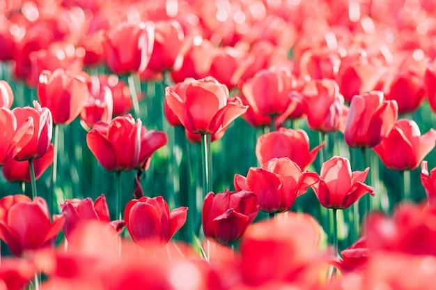 カラフルな芸術的な庭で太陽に照らされた赤いチューリップ