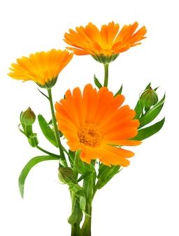 マリーゴールドの花の葉を持つ