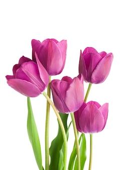 紫のチューリップの花