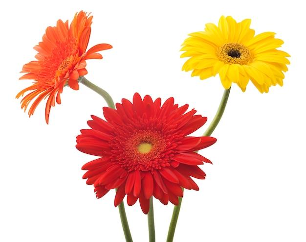 白で隔離される花ガーベラの花束