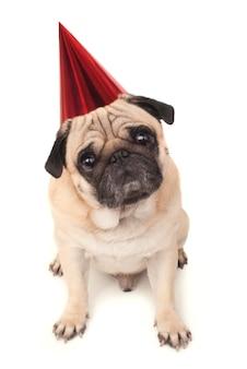 Эмоциональный мопс в праздничной шапке крупным планом