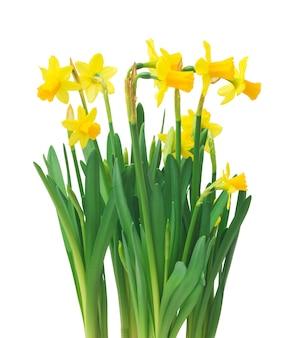 春の花のボーダー、美しい新鮮な水仙の花、分離されました。