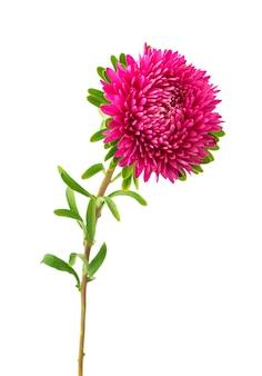 ピンクのアスターの花