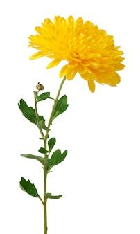 白で隔離される黄色の菊の花