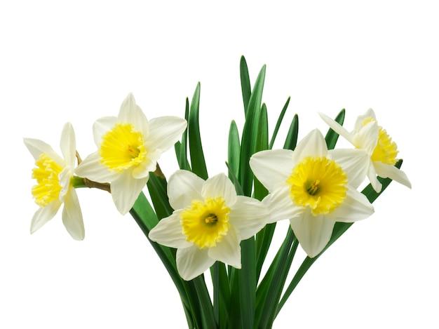 Красивые свежие цветы нарциссов,