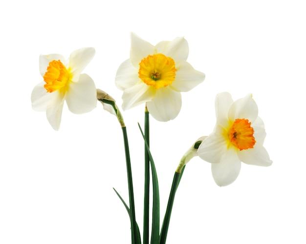 Красивые свежие цветы нарциссы изолированные