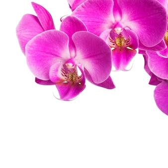 分離されたピンクの縞模様の蘭の花