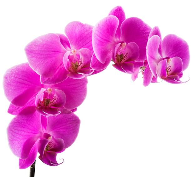 分離されたピンクの縞の蘭の花