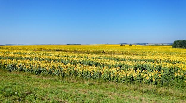 夏と澄んだ青い空のひまわり畑