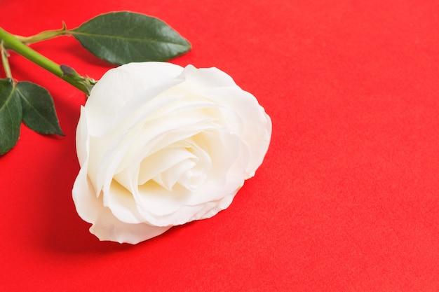 Красивая натуральная свежая белая роза