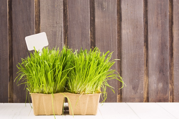 緑の発芽小麦粒、木製の背景を持つ鍋で発芽草