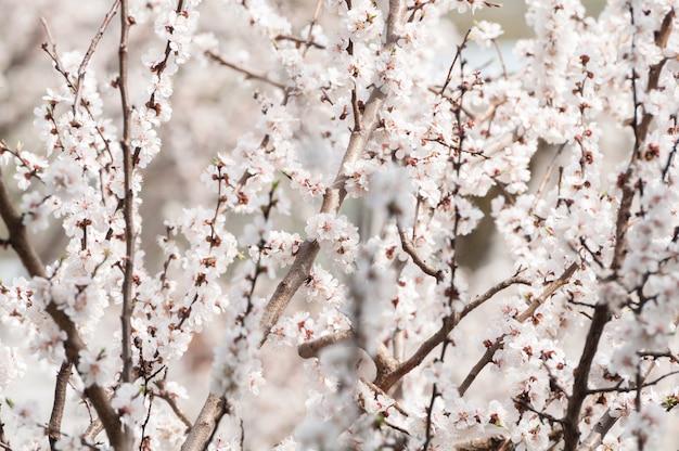 Весеннее цветение дерева в саду