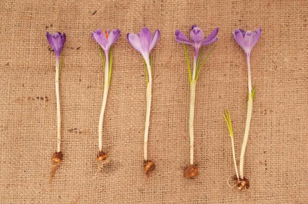 クロッカスの花。根と黄麻布の背景に球根を持つ植物