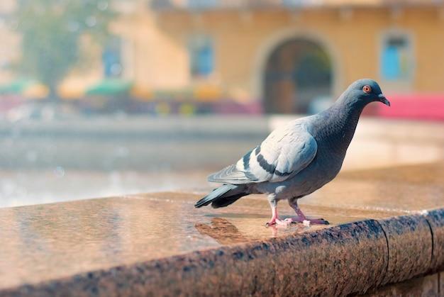 鳩は、市の中心部の噴水から柱廊に座っています。