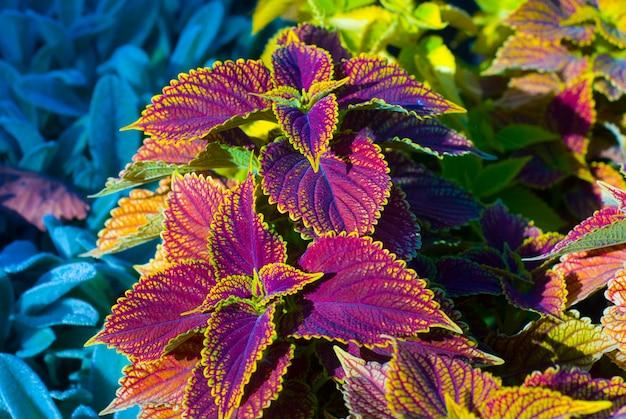 カラフルな葉の美しい植物