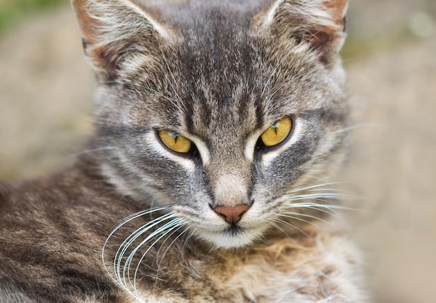 Портрет серой домашней кошки отдыхает во дворе деревенского дома на закате