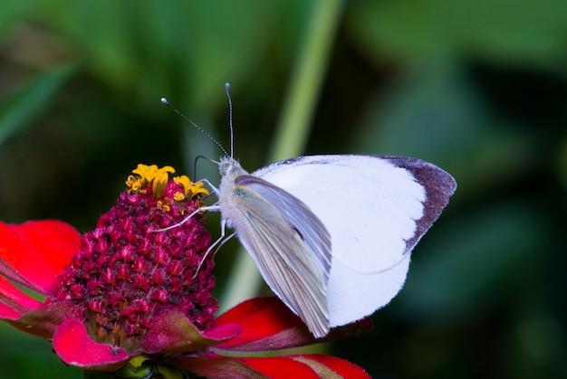自然の中で花を食べて白い蝶オオモンシロチョウ